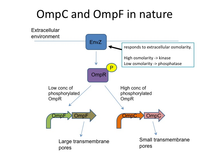 OmpC and ompF in nature.jpg